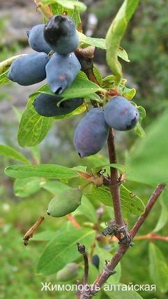 Кустарники со съедобными ягодами